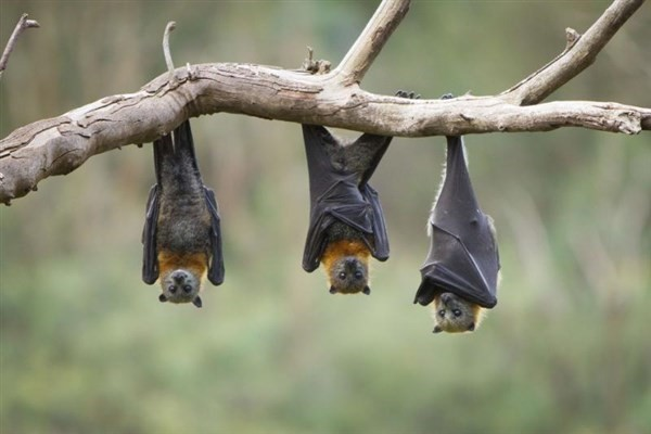 دانلود تحقیق خفاش ها